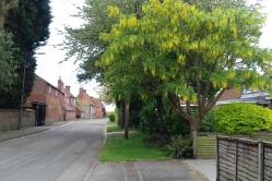 Laburnum tree in village