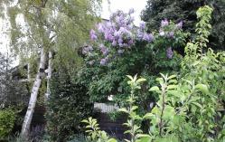 Lilac in flower in the garden