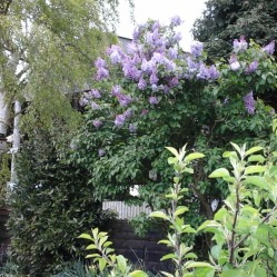 Lilac in flower in the garden