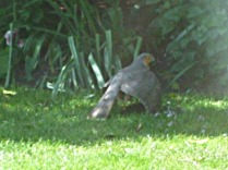 Male sparrowhawk in garden with prey (4)
