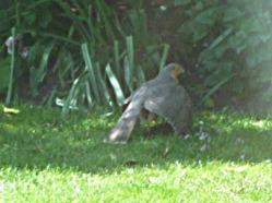 Male sparrowhawk in garden with prey (4)