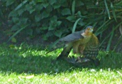 Male sparrowhawk in garden with prey. Early May 2017 (3)