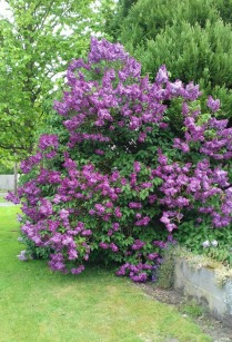 Purple lilac tree in the village