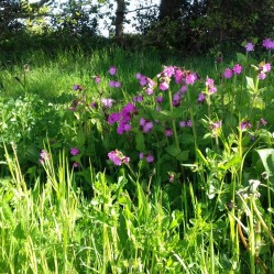 Red Campion in wildflower meadow early May