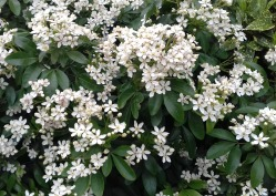 White Laurel in flower on a hedge in the village