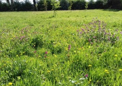 Wildflower meadow early May 2