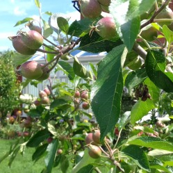 Apples developing back garden