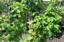 Blackcurrants developing in back garden