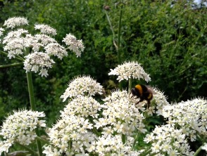 Bumble bee on hedge parsley down Plot Lane.