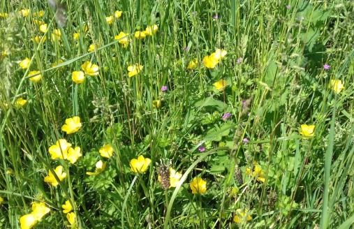 Buttercups along the verge