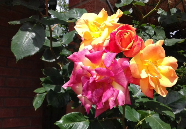 Climbing rose front garden