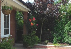 Climbing rose front of house
