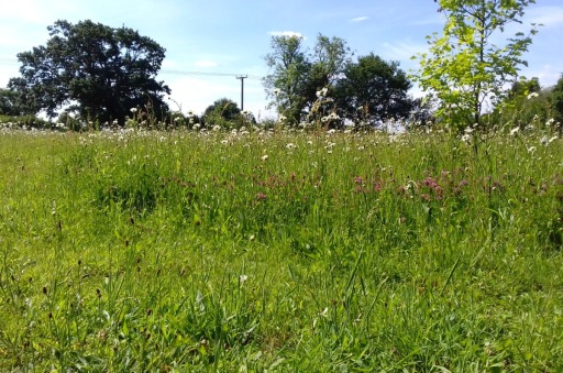 Dog daisies and red campion across the wildflower meadow
