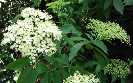 Elder flower close up