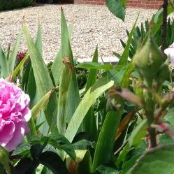 Lilac-coloured rose front garden