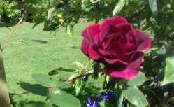 One of the rambling roses in our garden