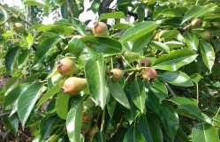 Pears developing back garden