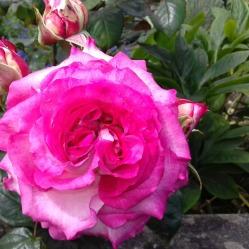 Pink rose along front wall