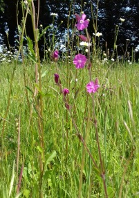 Remains of red campion in the meadow