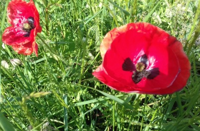 Some of the first poppies of the year