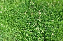 White clover along the verge