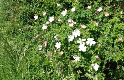 Wild roses along the hedgerow