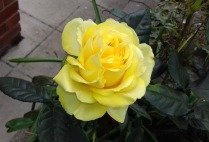 Yellow rose back garden