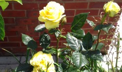 Yellow rose in the back garden