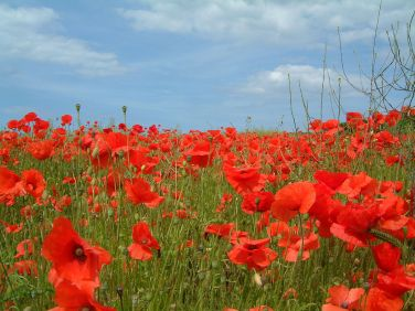 Poppies in a field in North Norfolk, England. Author: John Beniston. Creative Commons