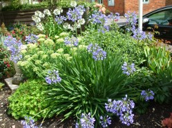 Agapanthus in the front garden