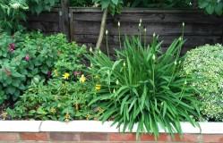 Agapanthus in bud beside St John's Wort and Fuchsia