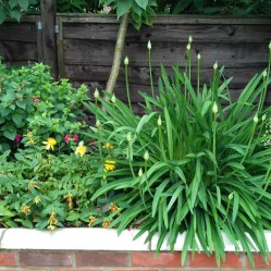 Agapanthus in bud beside St John's Wort and Fuchsia