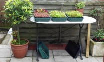 Bay tree and seed trays with growing lettuce