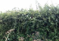 Bindweed along the hedgerow