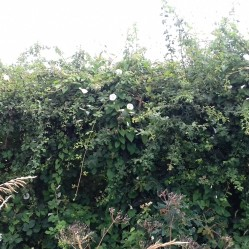 Bindweed along the hedgerow