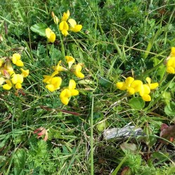 Birds-foot-trefoil in the wildflower meadow