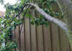 Damsons ready for ripening