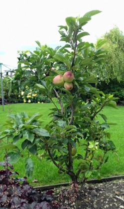 Very young dwarf apple tree. Hopefully it will produce more fruit next year
