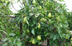 'Invincible' dwarf pear tree. These taste quite like a popular pear called a 'William'.