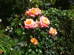 The roses are keeping going...