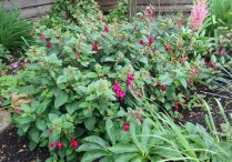 Fuchsia in flower bed