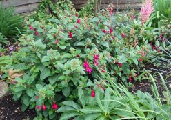 Fuchsia in flower bed