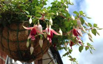Fuchsia in hanging basket