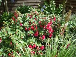 Fuchsia plant in the front garden