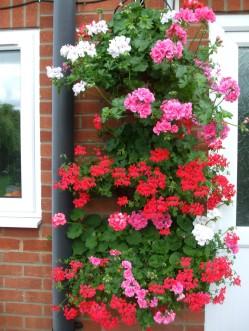 Geranium wall baskets outside the back door
