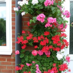 Geranium wall baskets outside the back door