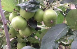 Swelling eating apples