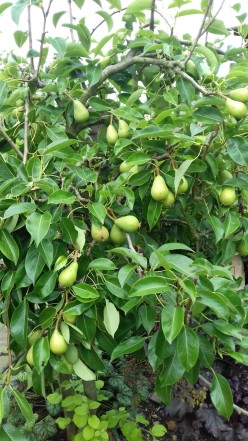 Developing pears