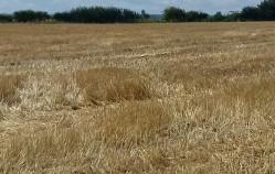 Harvested winter barley crop