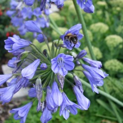 Honeybee collecting nectar in an agapanthus flower